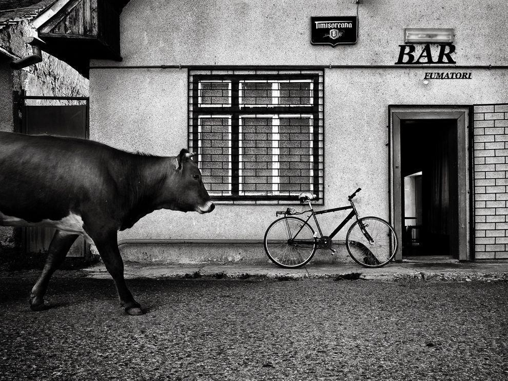 Cow walking down the street in the Romanian village. (Guy Cohen)