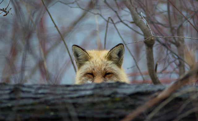 Red Fox | Fantastic Foxes 2 | Red fox, Pet fox, Fox