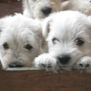 A Box Full Of White Schnoodle Puppies Schnoodle Schnoodle Dog