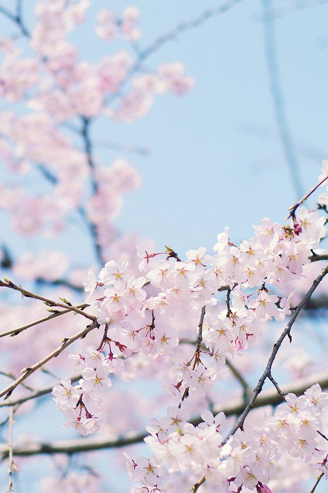 Iphone 6 Sakura Wallpapers Hd Desktop Backgrounds 750x1334