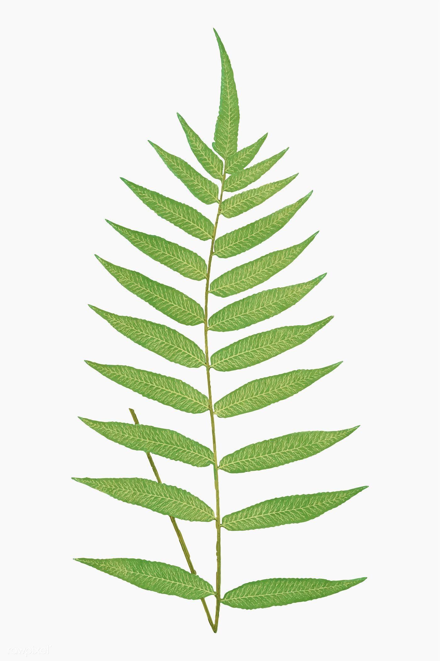 Download Premium Vector Of Polypodium Fraxinifolium Fern Leaf Vector Leaf Illustration Leaves Vector Vintage Illustration