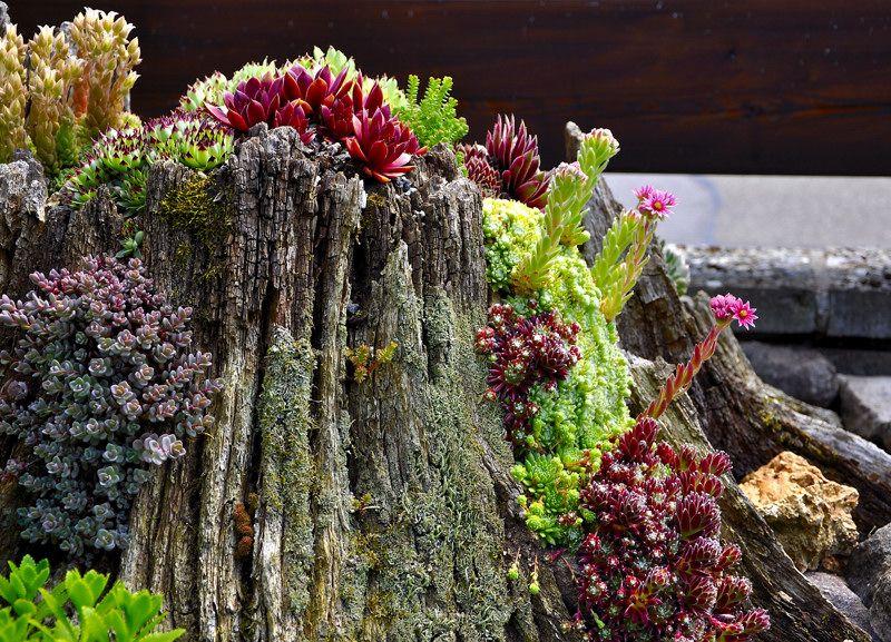 sempervivum wurzel garten pinterest naturgarten gartenplanung und steingarten. Black Bedroom Furniture Sets. Home Design Ideas