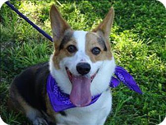 Corpus Christi Tx Pembroke Welsh Corgi Meet Edmond A Dog For