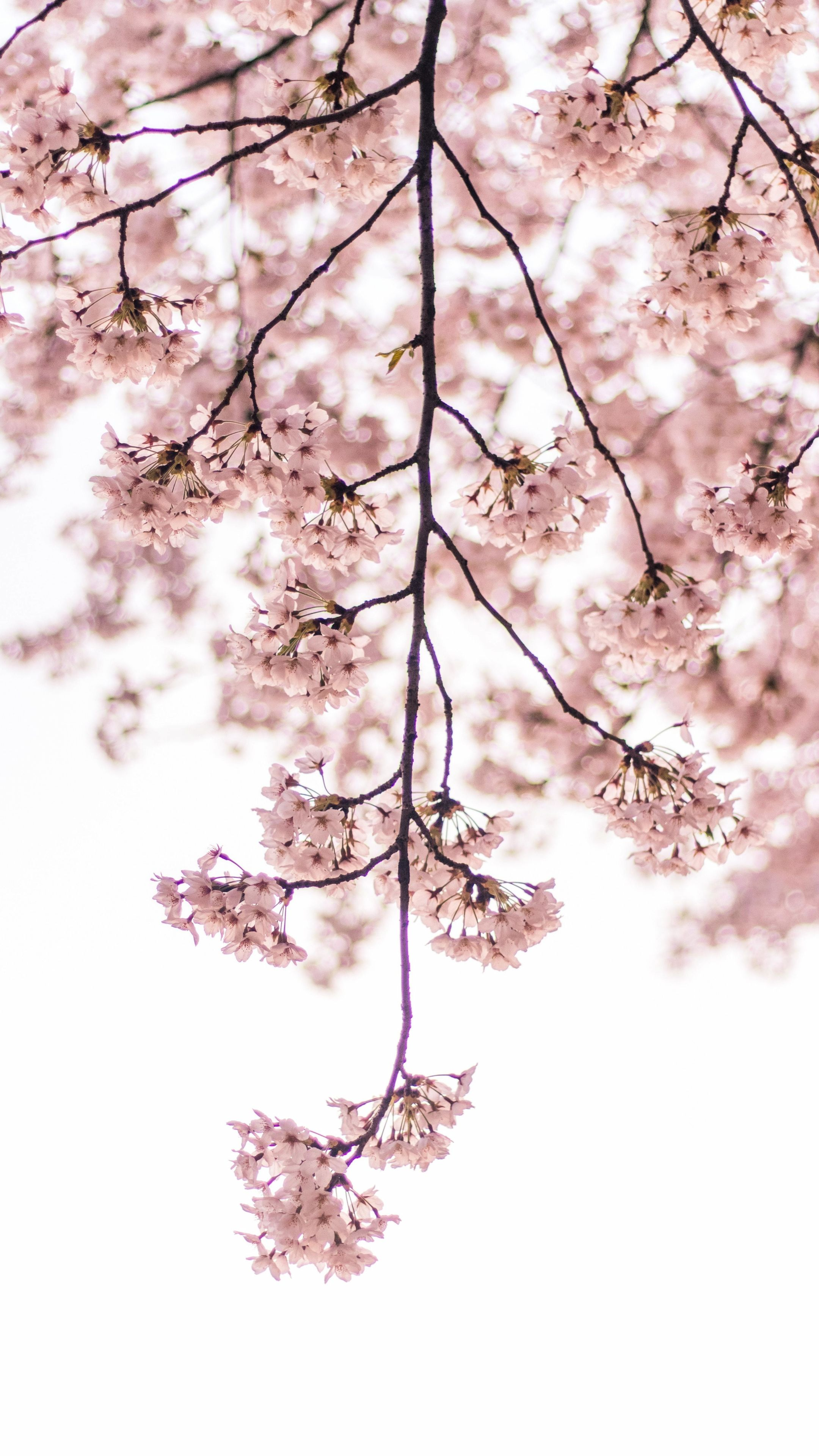 2160x3840 Blossom Pink Flowers Tree Branch Wallpaper Cherry Blossom Wallpaper Iphone Cherry Blossom Wallpaper Tree Branch Wallpaper Coolest flower tree wallpaper images