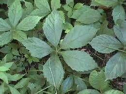 5 Leaf Poison Oak - Bing images