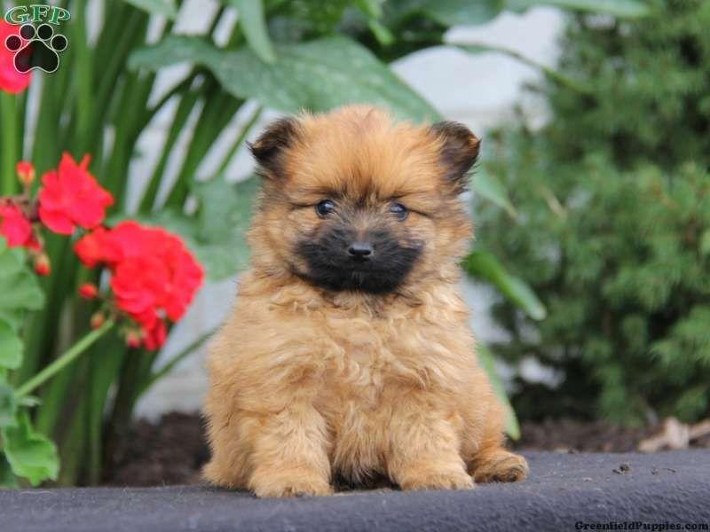 Grace yorkie pom puppy for sale in pennsylvania