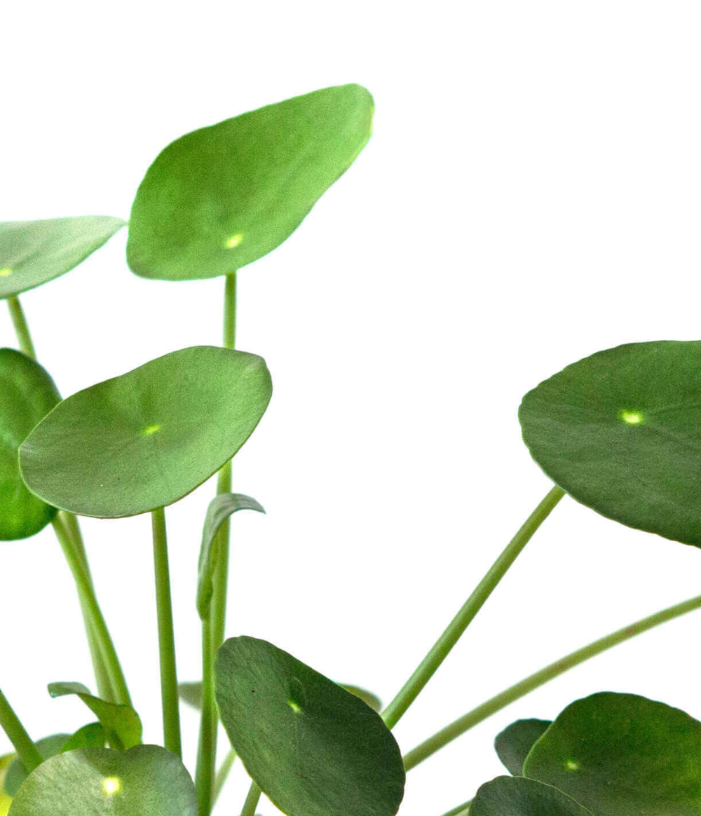 Why Are The Leaves On My Pilea Turning Yellow Bloomscape Plant Care Plants Plant Leaves Turning