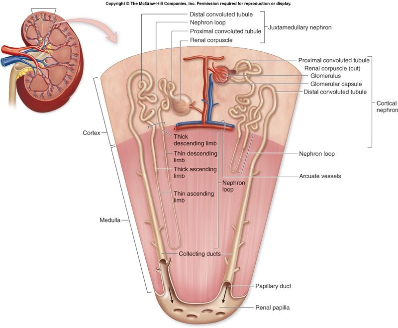 Kidney Nephron Structure Diagram Tv Antenna Wiring Hormones And Menopause Pinterest Anatomy