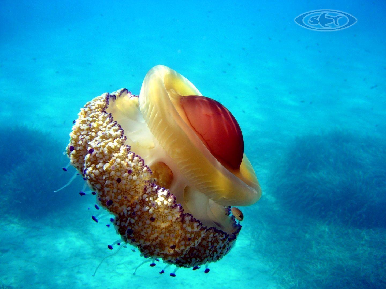 Internationale SET Ausbildung:  Schwimmen, Erste Hilfe, Tauchen: www.schwimmen-tauchen-tirol.at #Quallen #jellyfish #Diving
