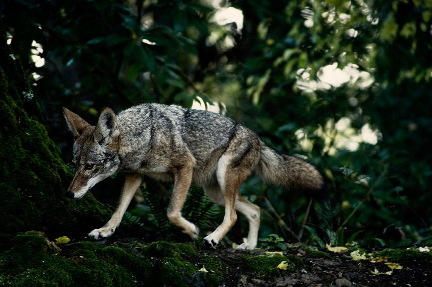 Coyote in the forests of Woodside, California. Coyote