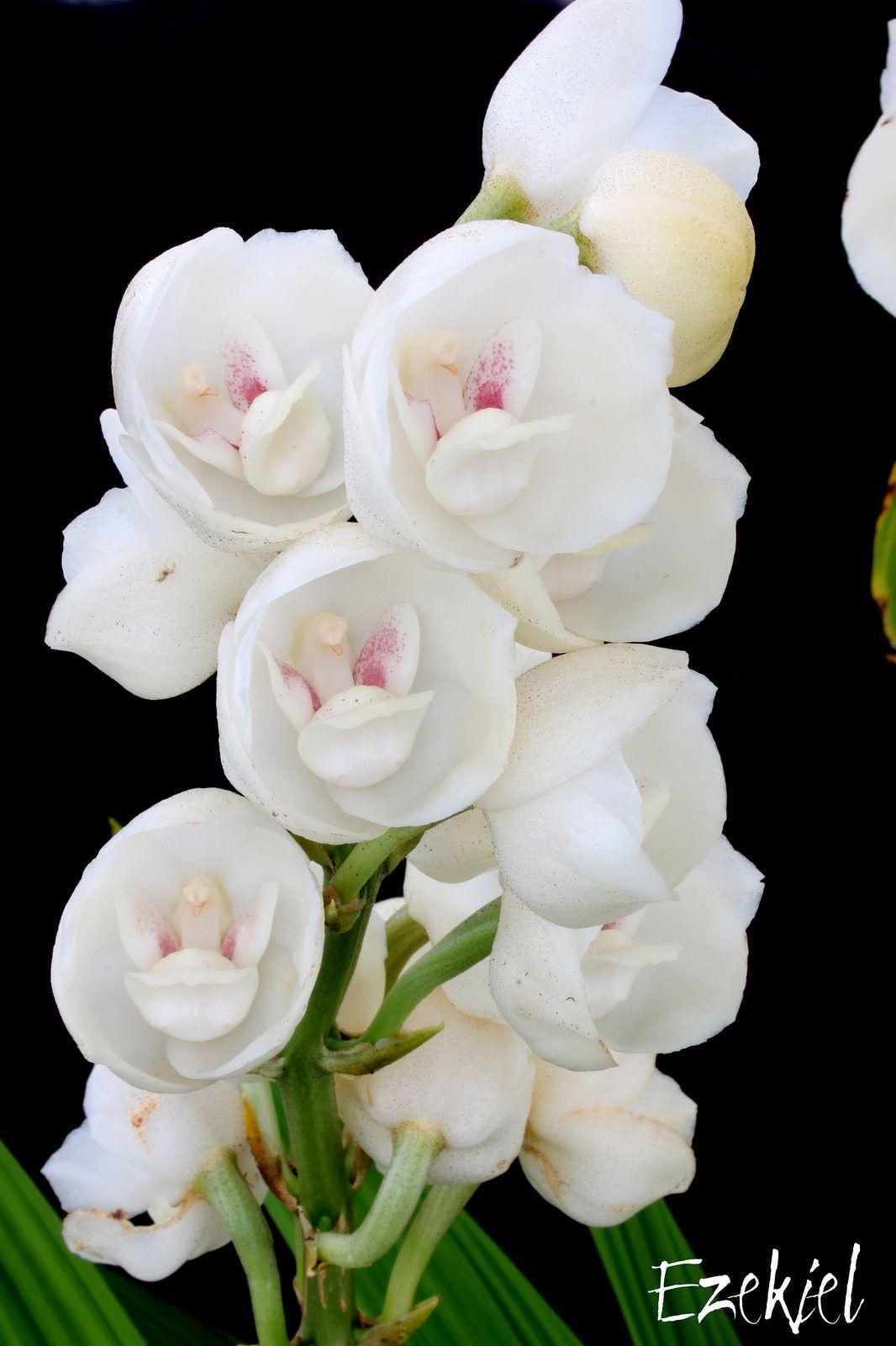 Resultado De Imagen Para Peristeria Elata Orchid Flower Orchids Flowers