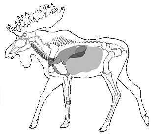Moose diagram of vital zones anatomy pinterest moose diagram moose diagram of vital zones ccuart Choice Image