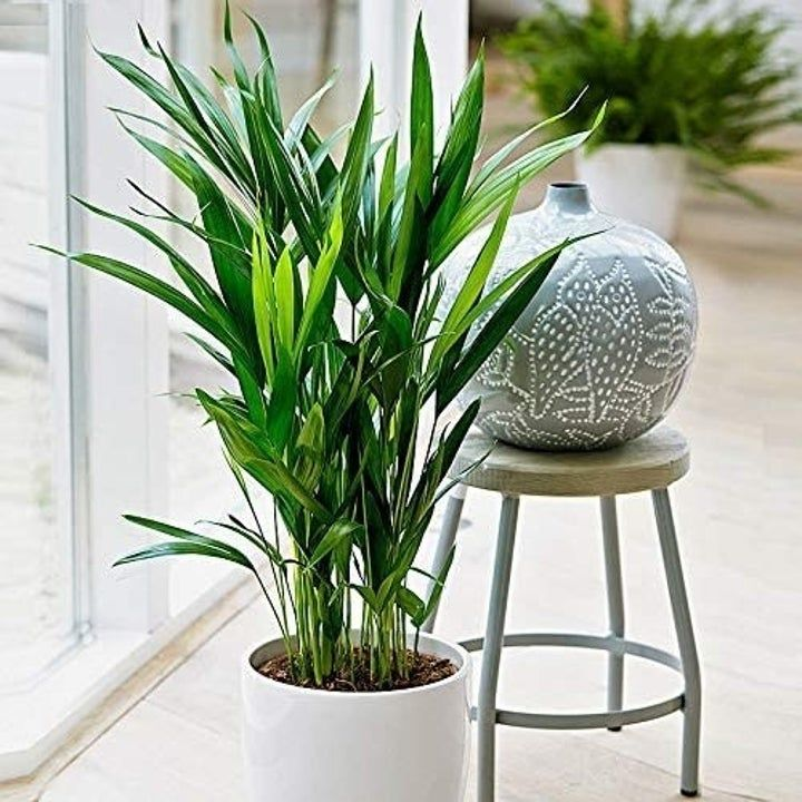 An areca palm so you can add a tropical vibe to your home
