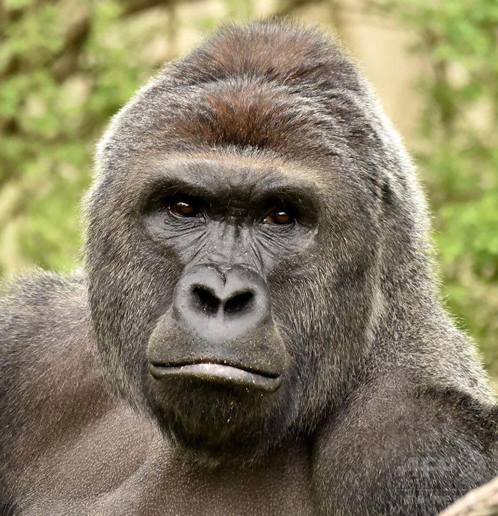 Mayuko On Twitter Gorilla Harambe Harambe Gorilla