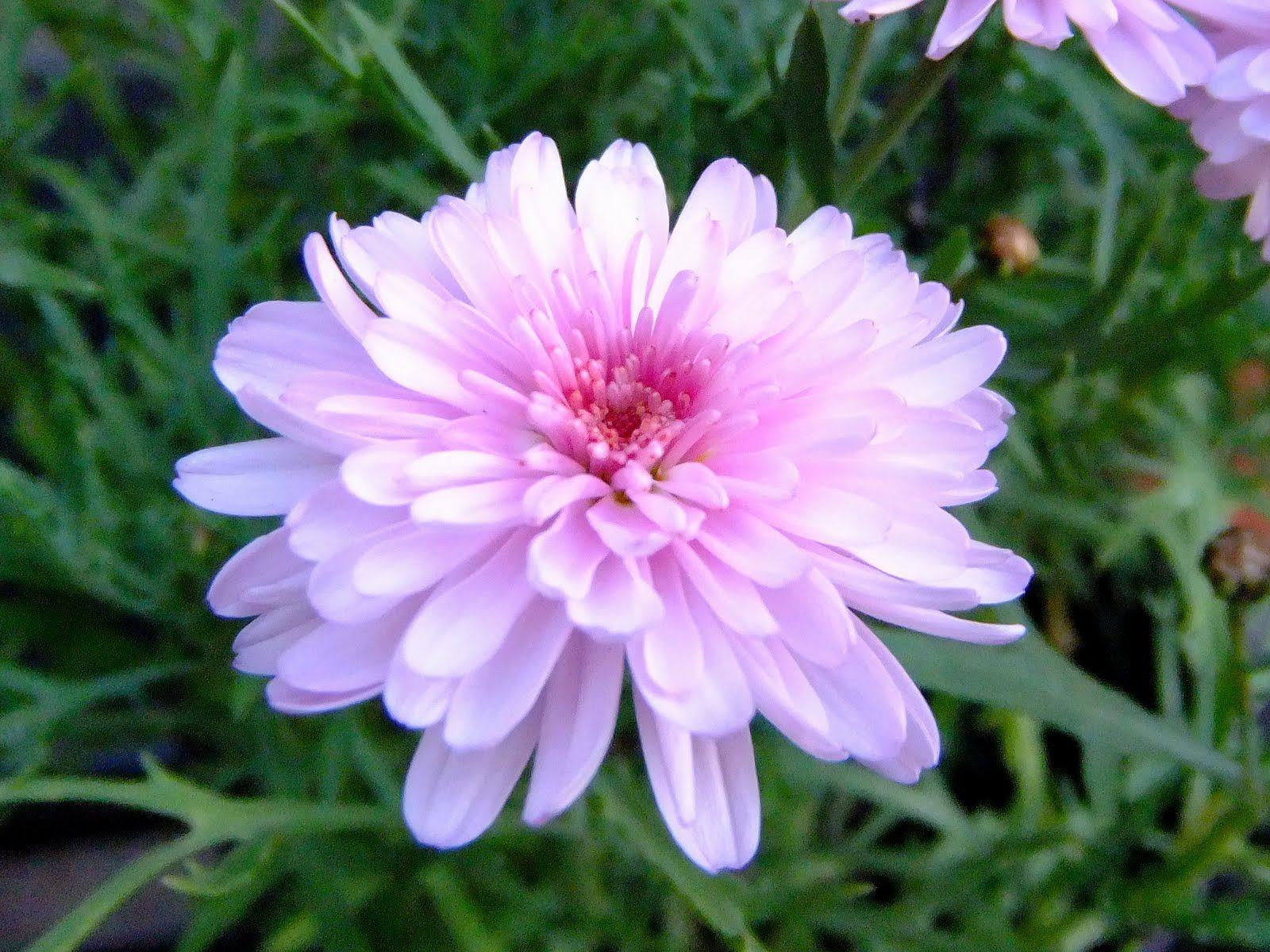 Argyranthemum cotton candy marguerite daisy light pink double argyranthemum cotton candy marguerite daisy light pink double flowers google search izmirmasajfo