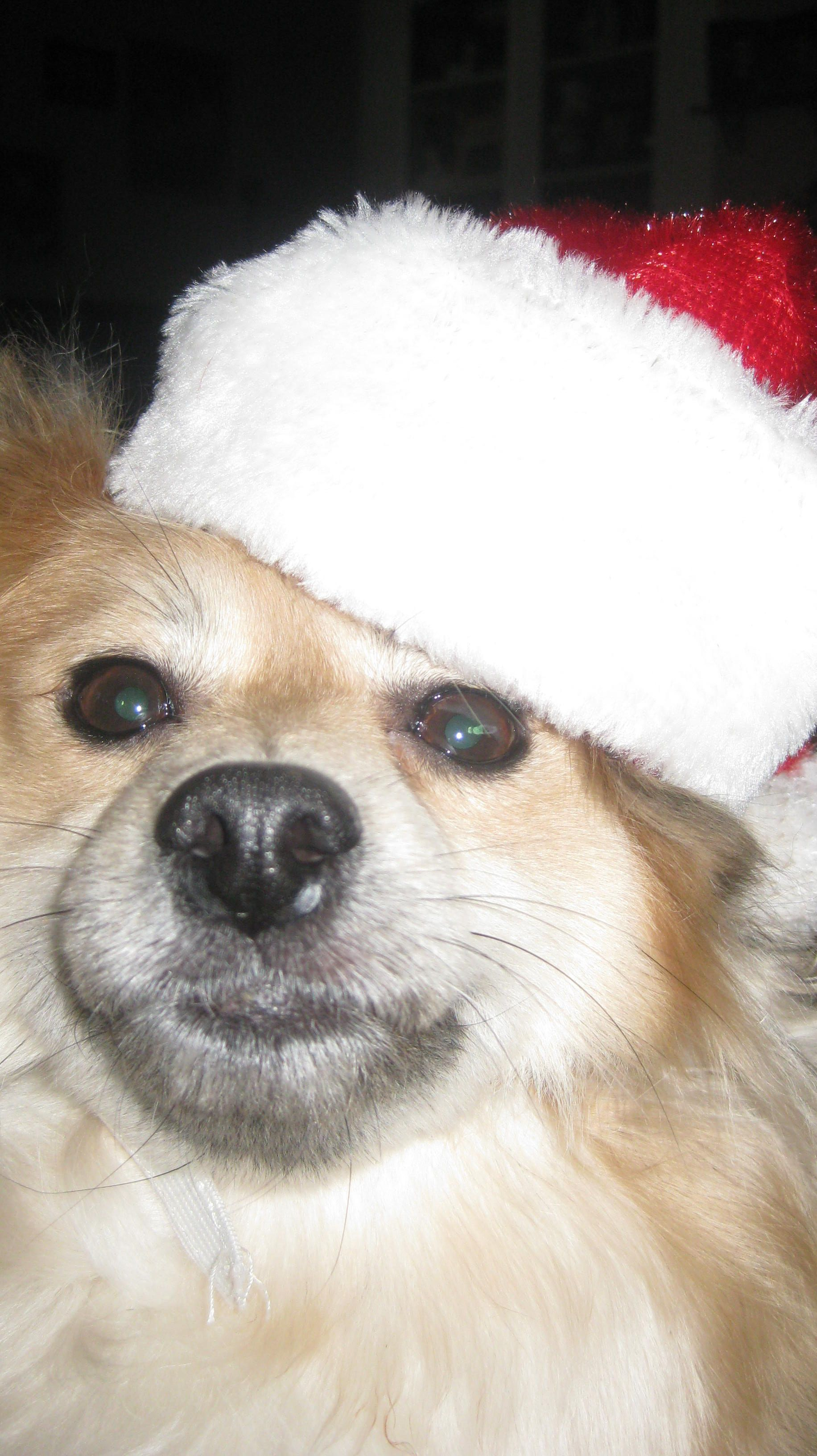 Annwn Dons The Santa Hat Fur Babies Dogs Corgi