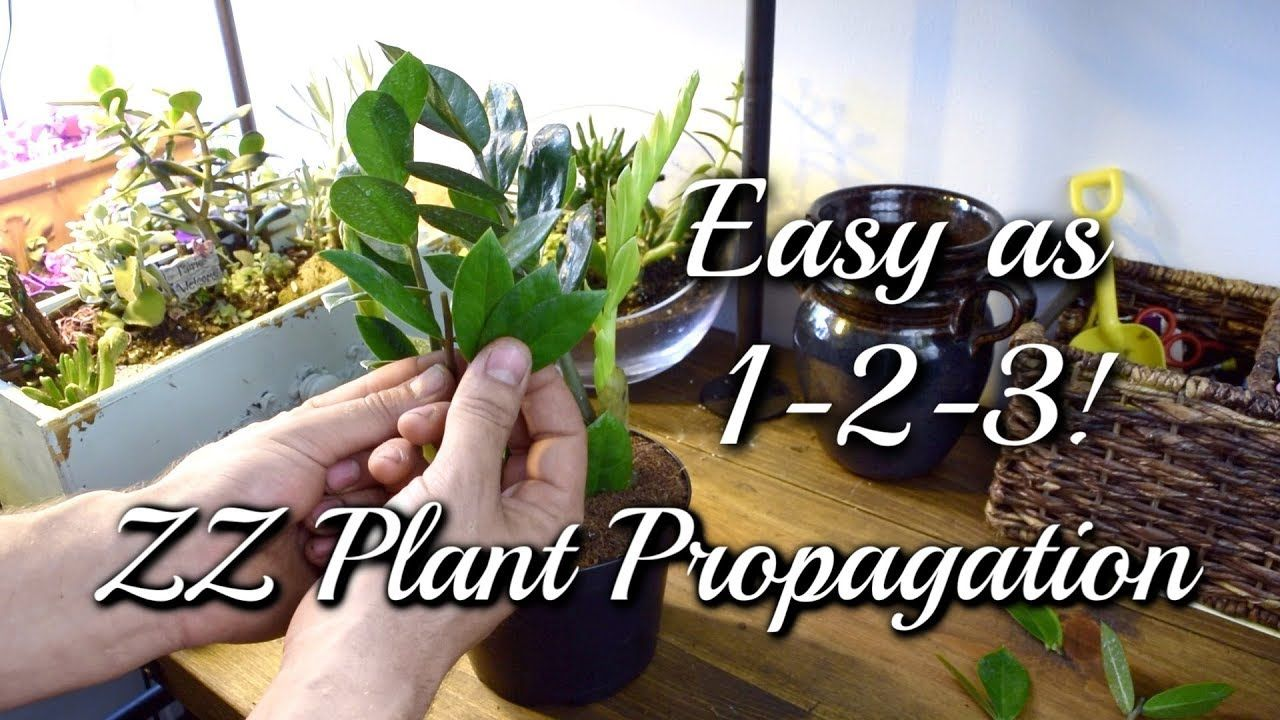 3 EASY Ways To Propagate Your ZZ Plant! - YouTube in 2020 ...