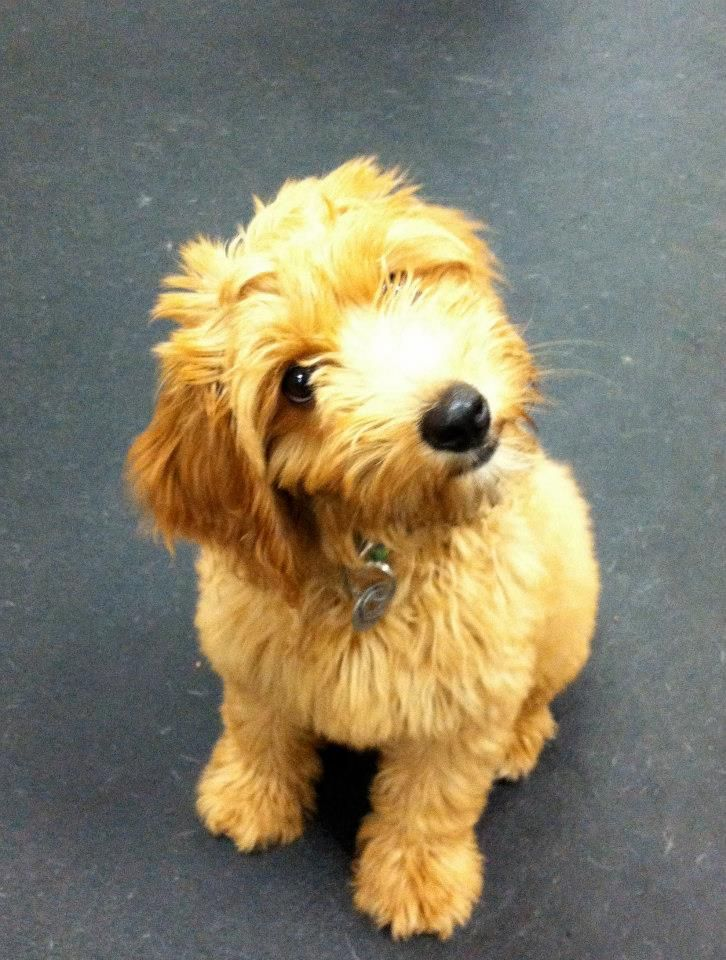 Goldendoodle Puppy Socialization Goldendoodle Puppy Play