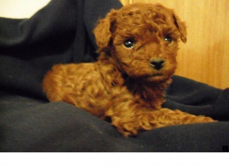 More About The Eager Poodle Puppies Temperament Poodlehouse