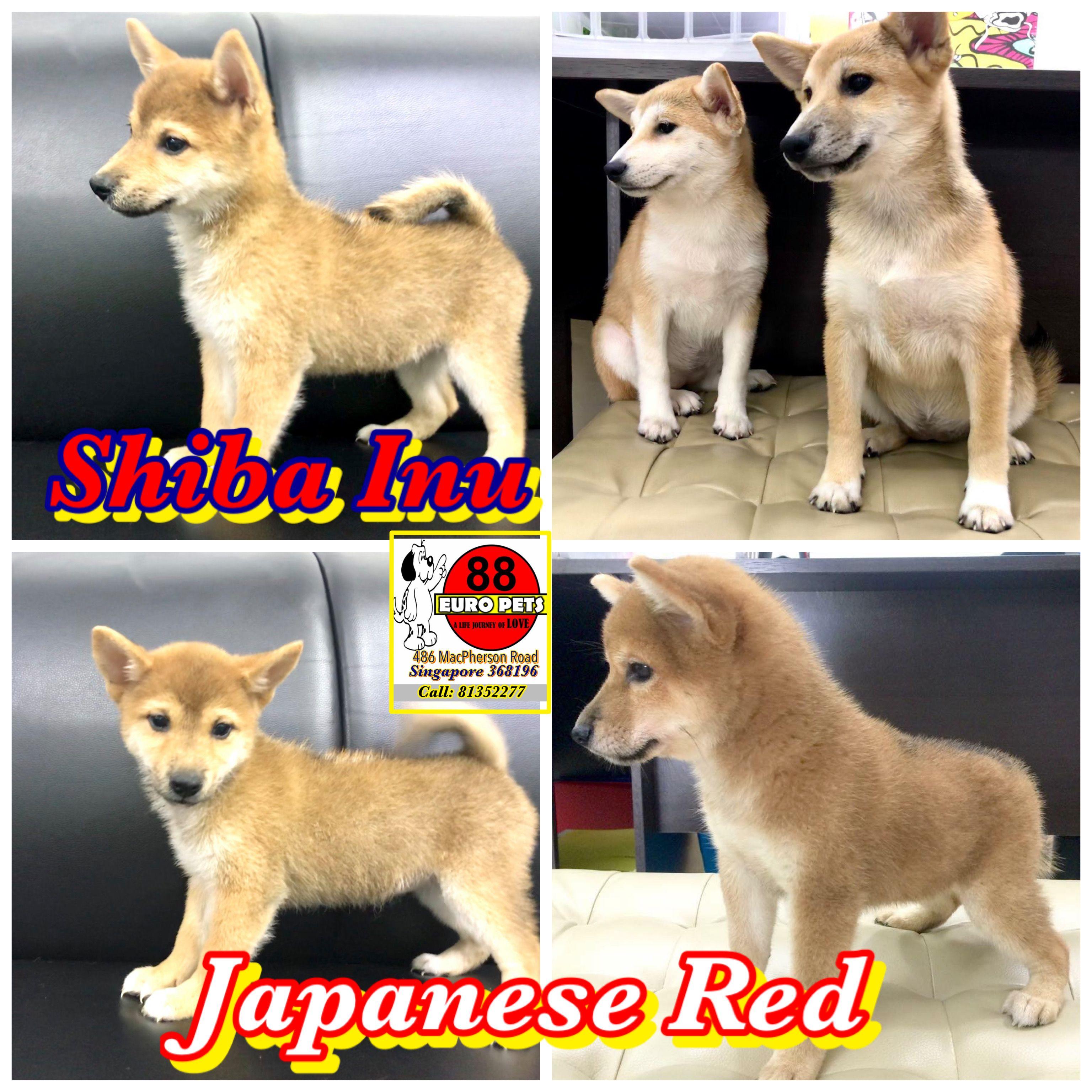 Shiba Inu Puppies For Sale Shiba Inu Puppy Puppies For Sale Shiba