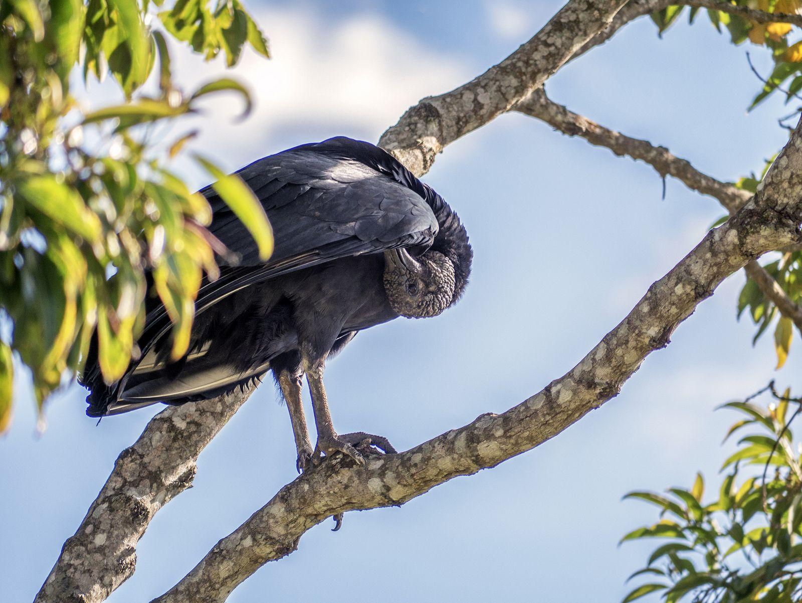 https://flic.kr/p/VnCpw2 | Urubu | Um urubu no Brasil.  Tenha um bom dia. :-)  ___________________________________________  Vulture  A vulture in Brazil.  Have a great day. :-)  ___________________________________________  Buy my photos at / Compre minhas fotos na Getty Images  To direct contact me / Para me contactar diretamente: lmsmartins@msn.com