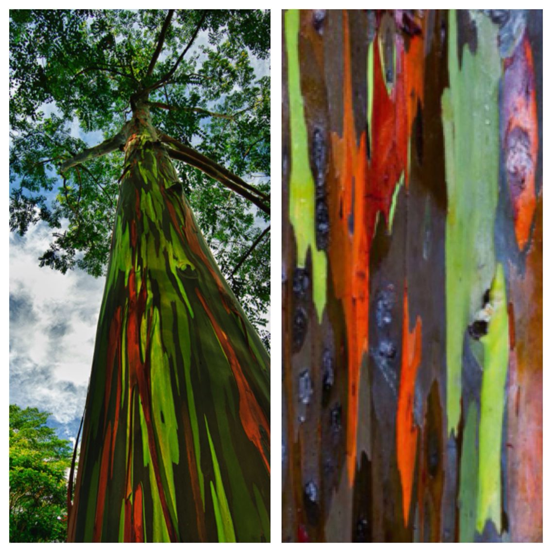 Rainbow Eucalyptus In Kauai, Hawaii.The rainbow eucalyptus, which ...