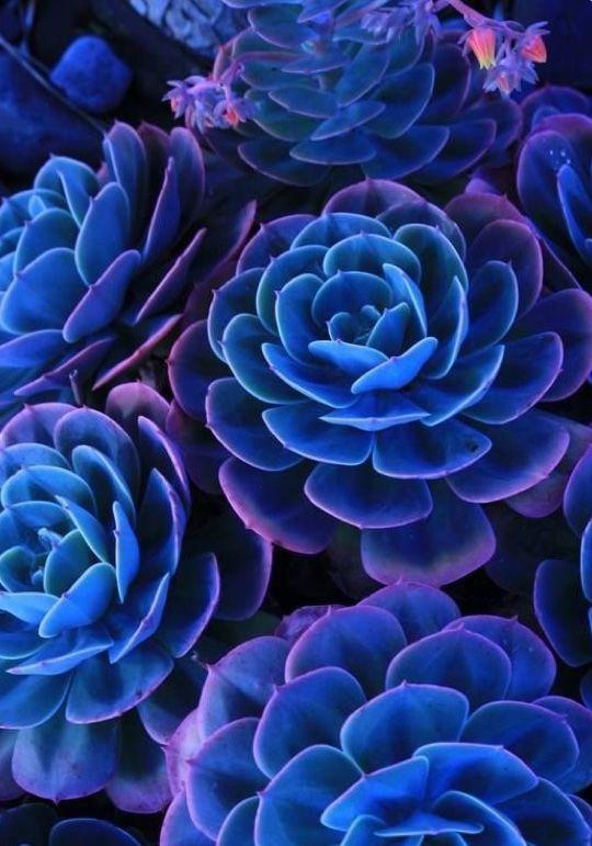 Blue Flower Tinged With Pink Avec Images Graines De Fleurs