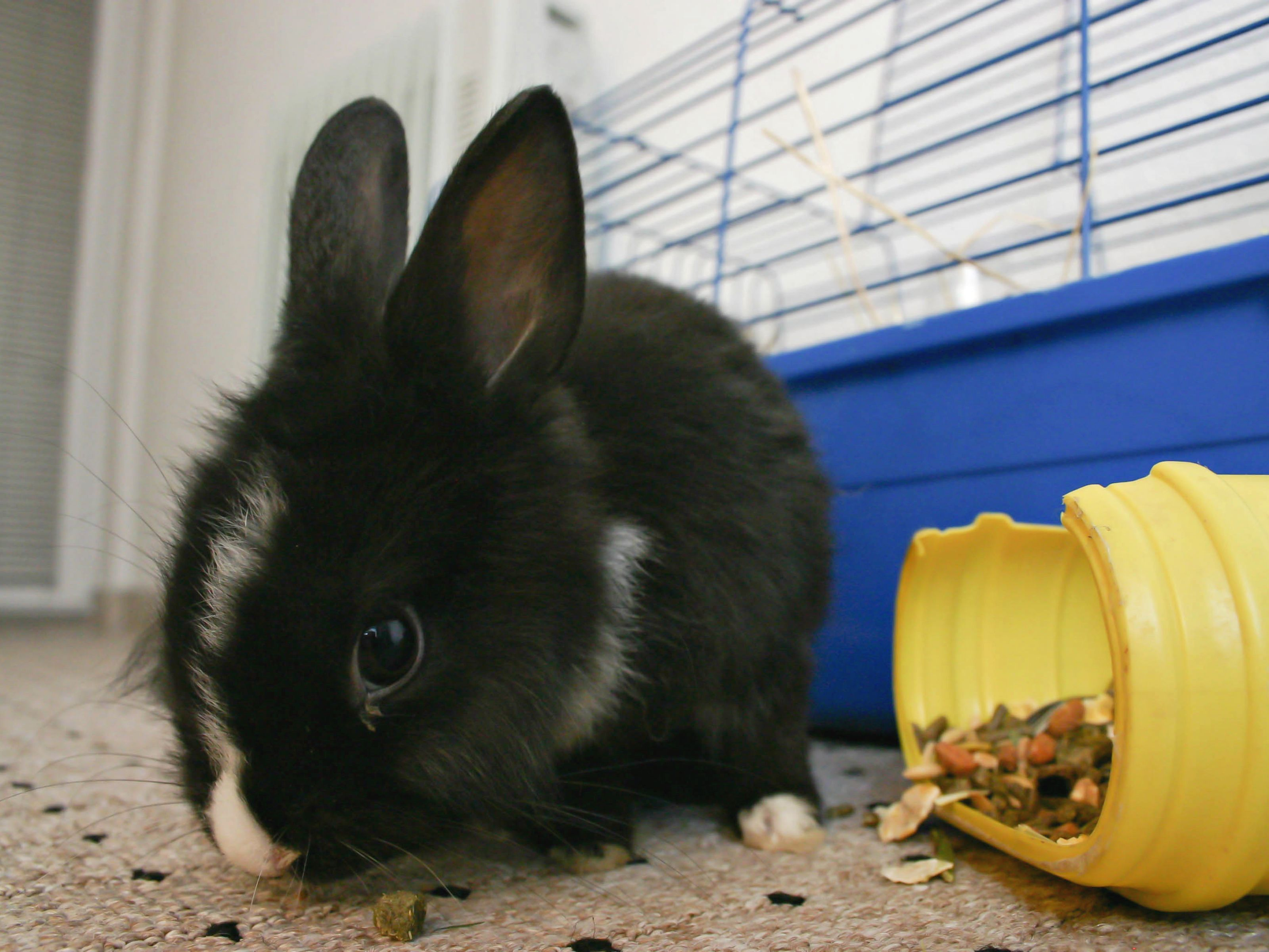 Care for lionhead rabbits lionhead rabbit rabbit