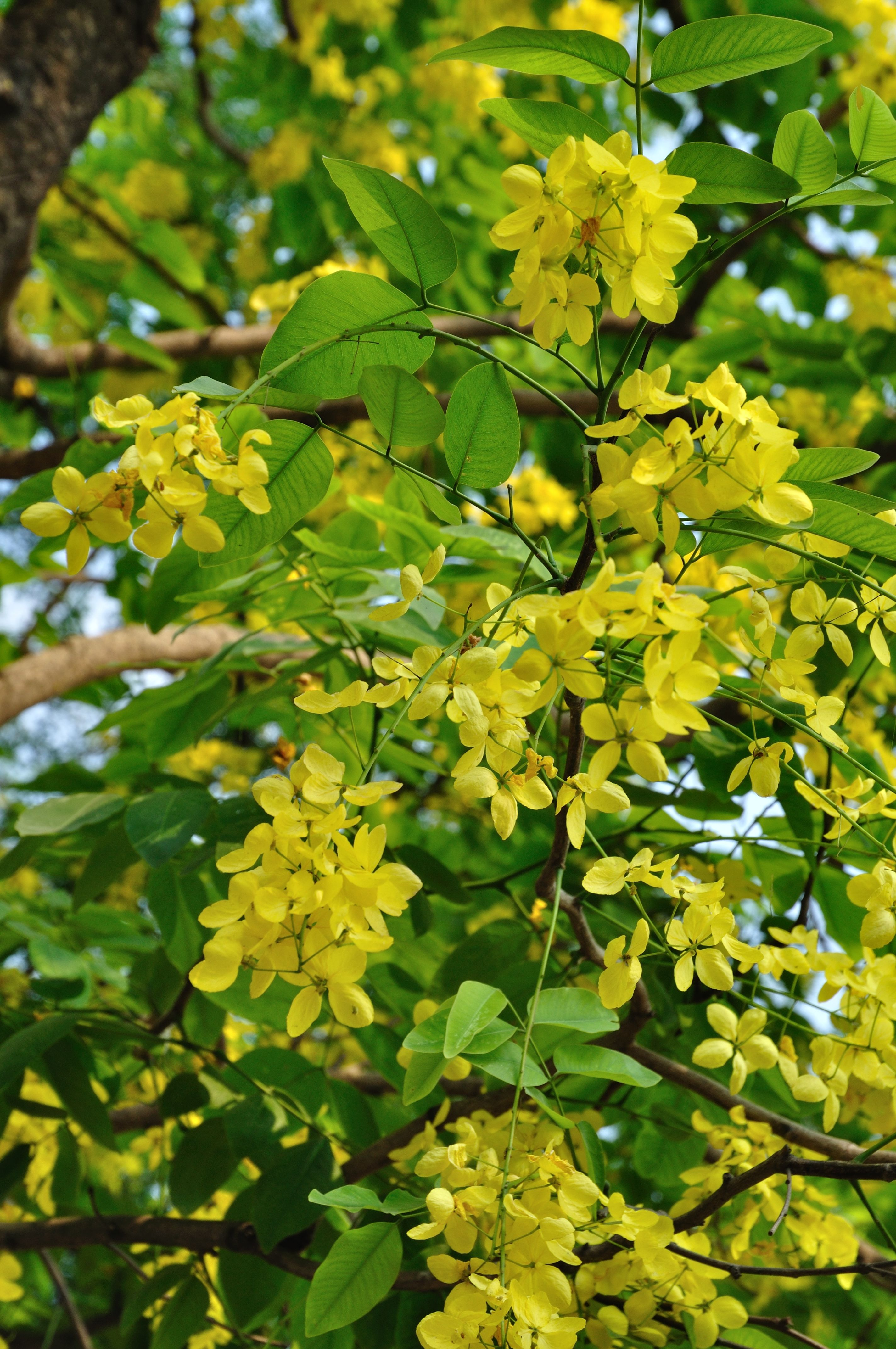 Golden Shower Tree Cassia fistula A Poem Lovely As A