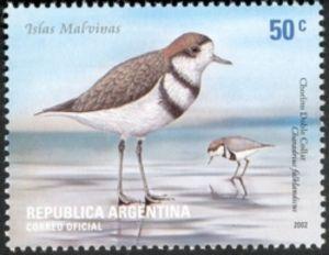 Two-banded Plover (Charadrius falklandicus)