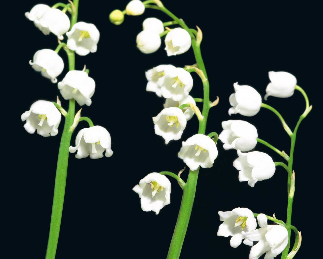 Lily Of The Valley May Birth Flower For My Kiddos Pinterest