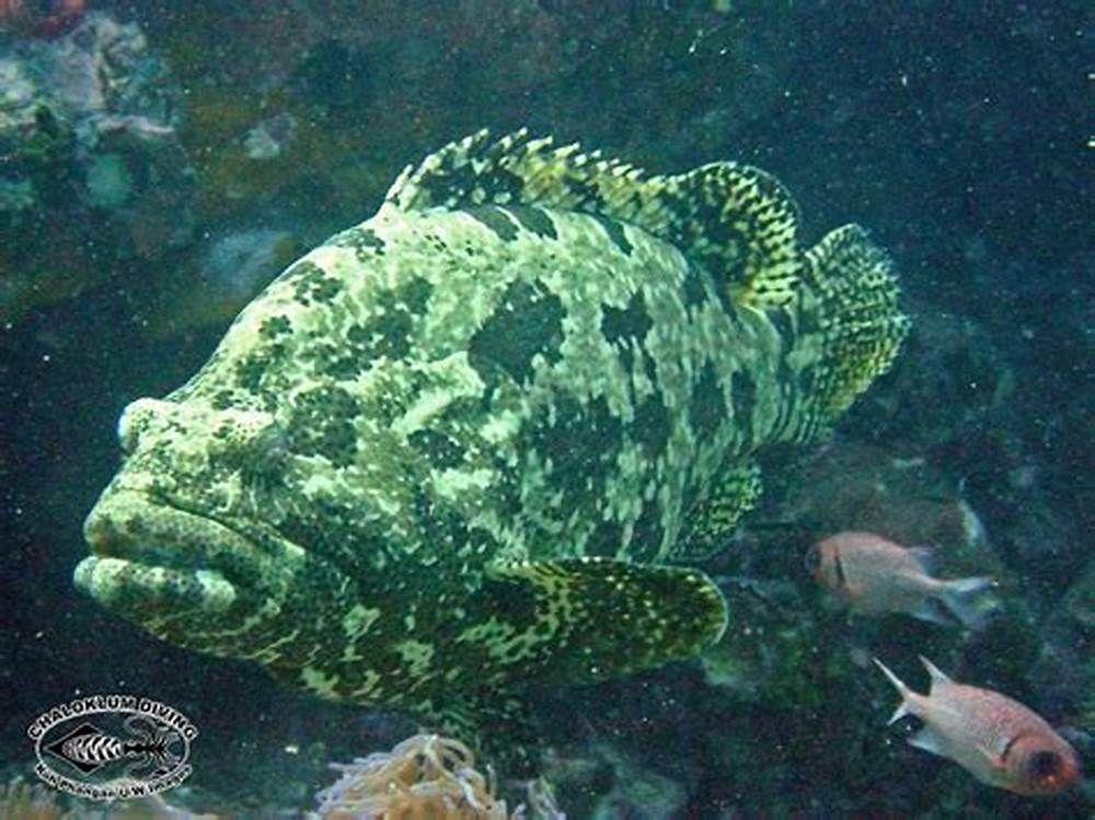 Brown Marbled Grouper Grouper Marine Life Brown
