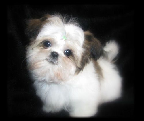 Chinese Imperial Shih Tzu Imperials Teacup Toy Miniature Or
