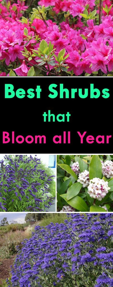 Best Shrubs that Bloom All Year #gardenlandscaping