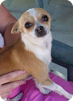 Fayetteville Nc Chihuahua Mix Meet Jojo A Dog For Adoption Dog Adoption Cute Animals Chihuahua