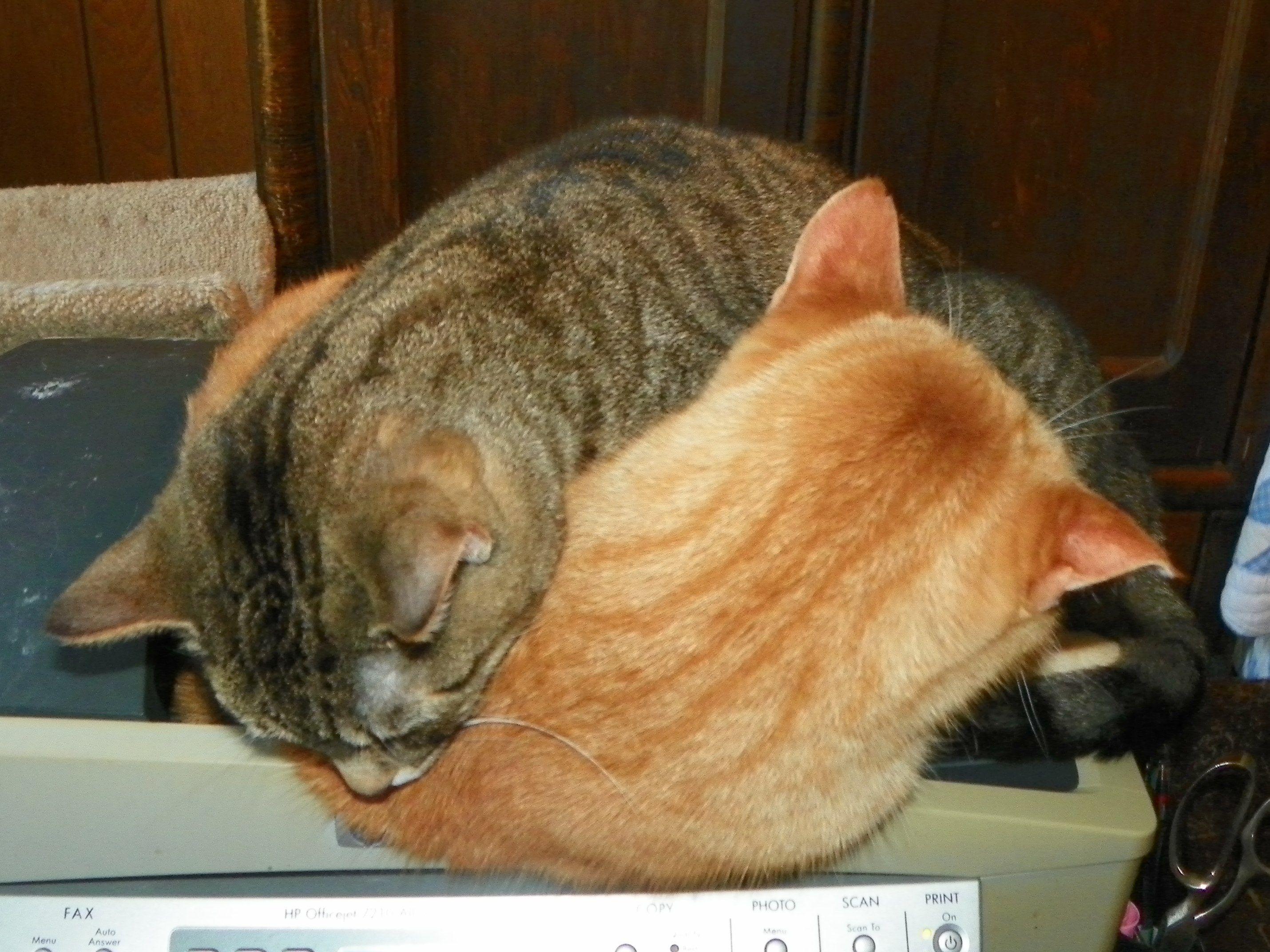 Cat Pretzel Office Cat Cats Sweet Pea