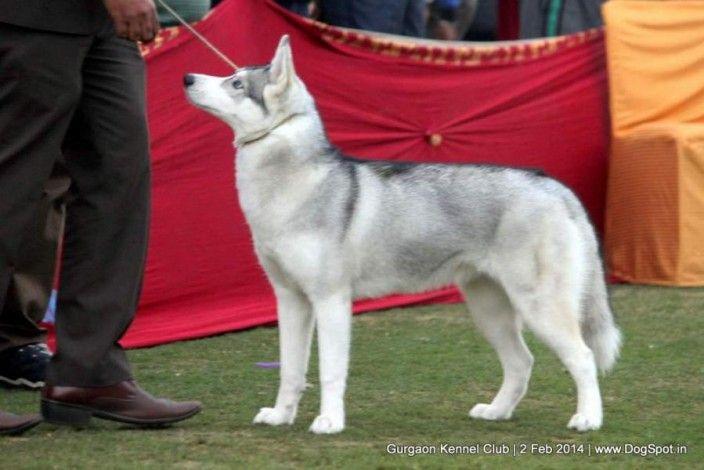 Siberian Husky Dog Show Image Dogs Dog Show Husky Dogs