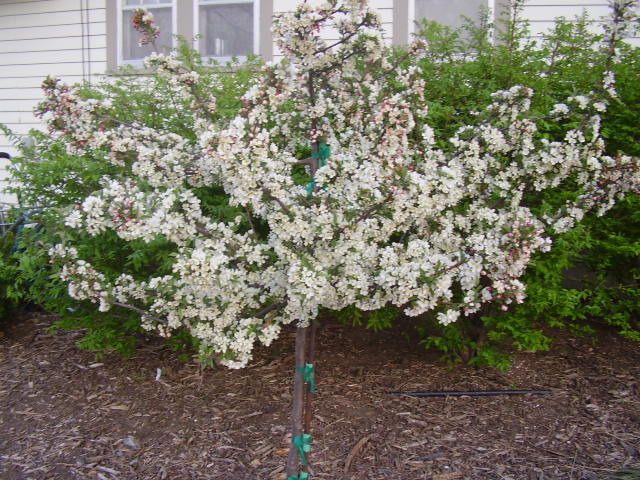 Malus sargentii \'Tina\' - Tina Sargent Crabapple. White flowering ...