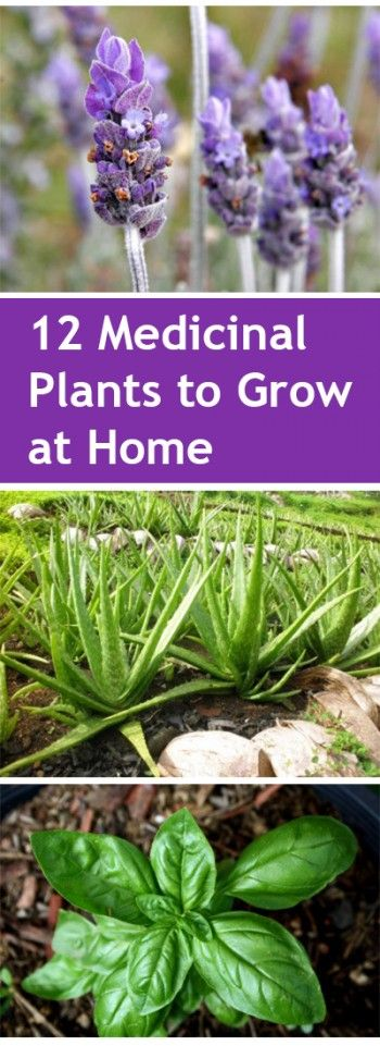 12 Medicinal Plants to Grow at Home