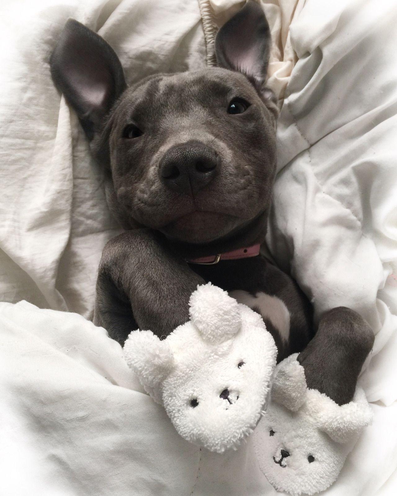 Pitbull Tumblr Cute Baby Animals