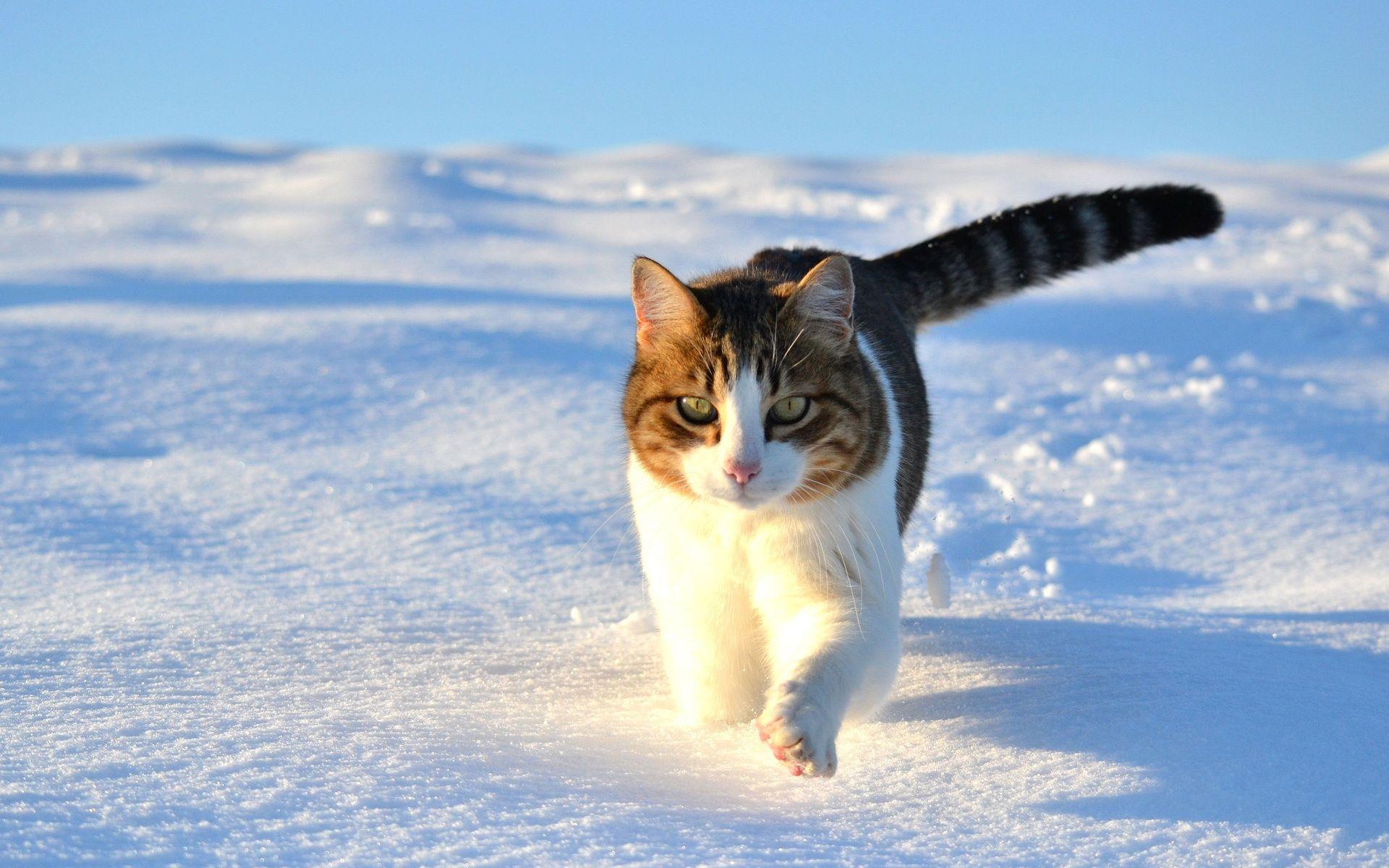 かわいい猫 かわいい猫は 雪の冬を歩いて 壁紙 1920x1200 壁紙