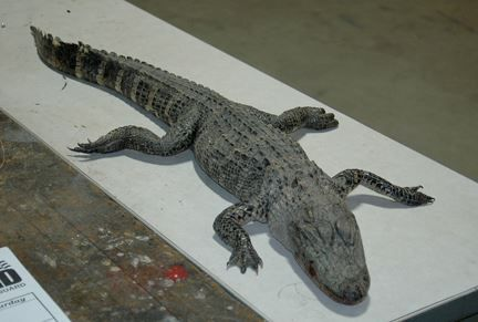 This 4-foot-long alligator was found dead Saturday in the Henrietta bottoms. Speculation is that it froze to death, but nothing official has been released on how it might've come to Ray County or the cause of death. 2013.