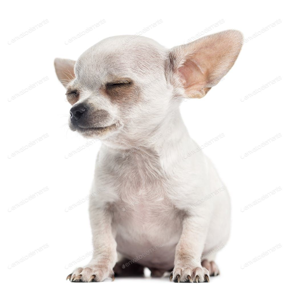 Chihuahua Puppy Sitting Eyes Closed 4 Months Isolated On White