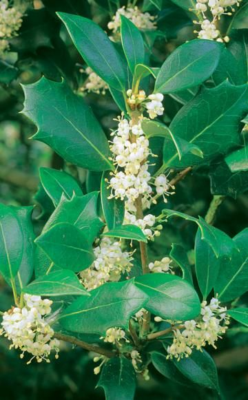 Duftblüte - Pflanzen, Pflege und Tipps | Autumn