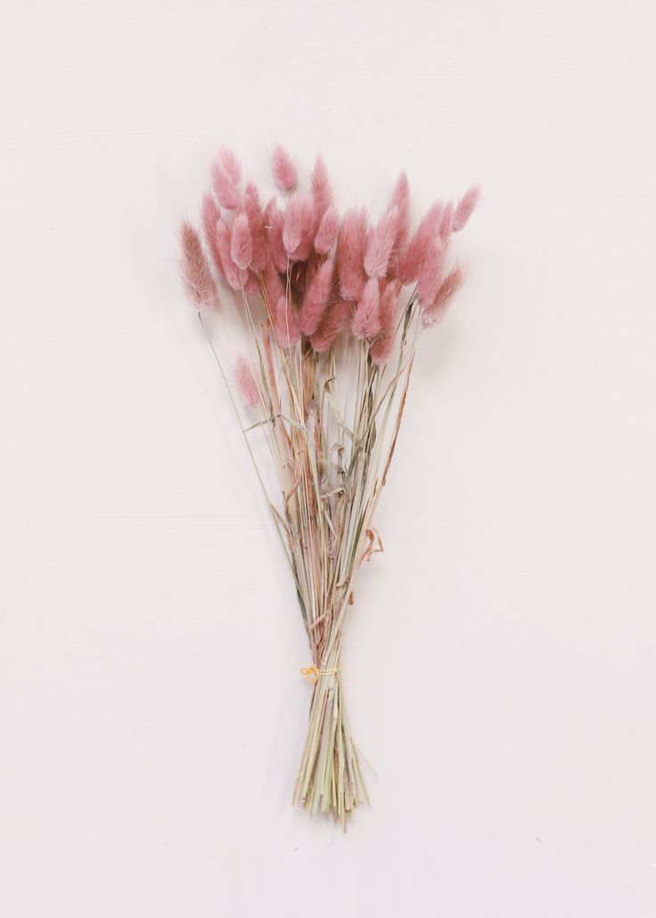 Dried Bunny Tail Grass in Mauve Pink