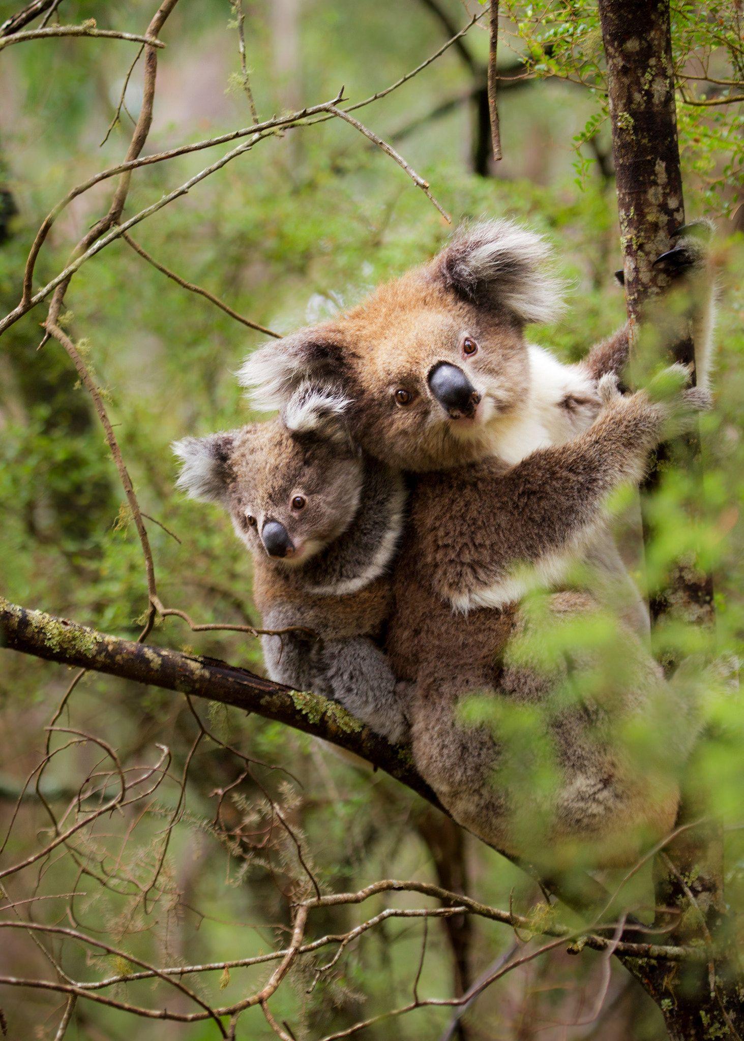 картинка коала с лисой центре это здание