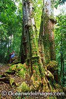 Brushbox Tree Lamington National Park image