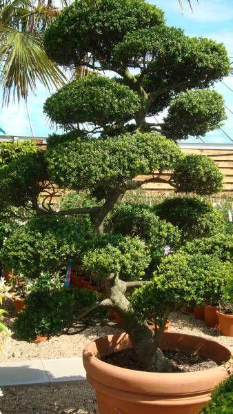 Arbres nuage japonais bonsai geant juniperus virg - Bonsai arbre prix ...