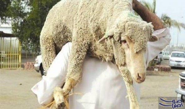 السعودية تعلن ذبح أكثر من 840 ألف رأس ماشية خلال موسم الحج أعلنت السلطات السعودية الأحد ذبح أكثر من 840 ألف رأس ماشية خلال موسم الحج فى Animals Goats