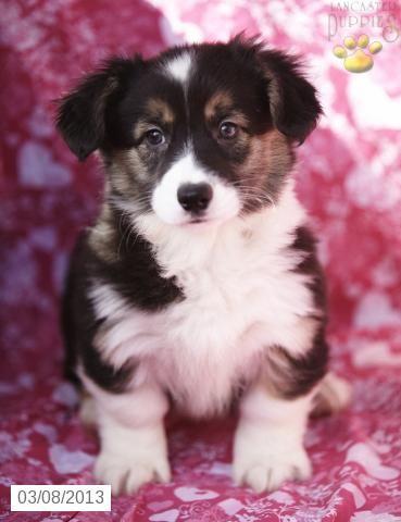 PUPPY!!! Freddy Welsh (Pembroke) Puppy for Sale in